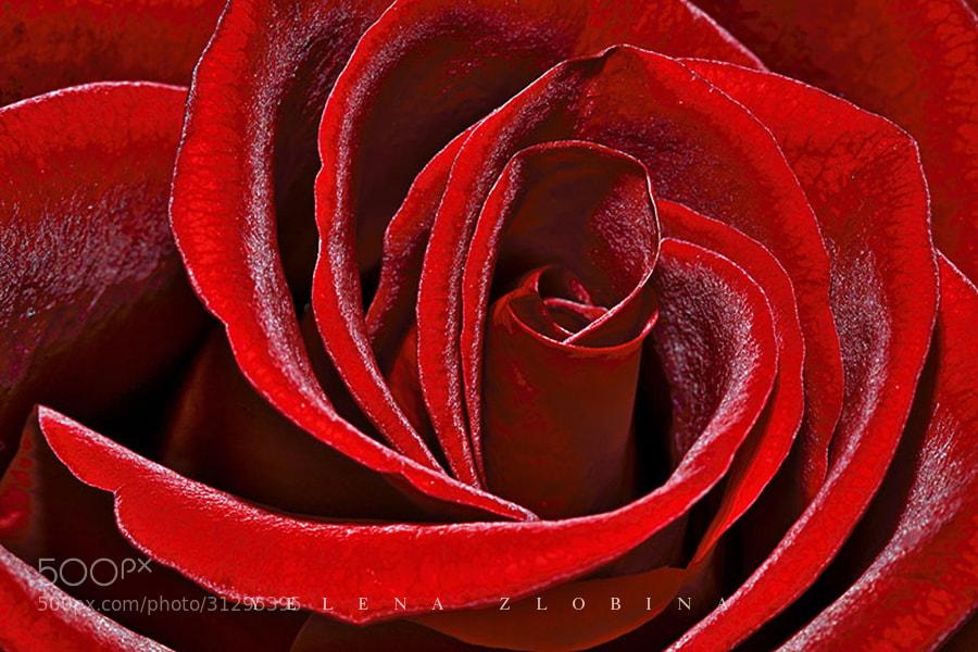 Photograph Rose by Yelena Zlobina on 500px