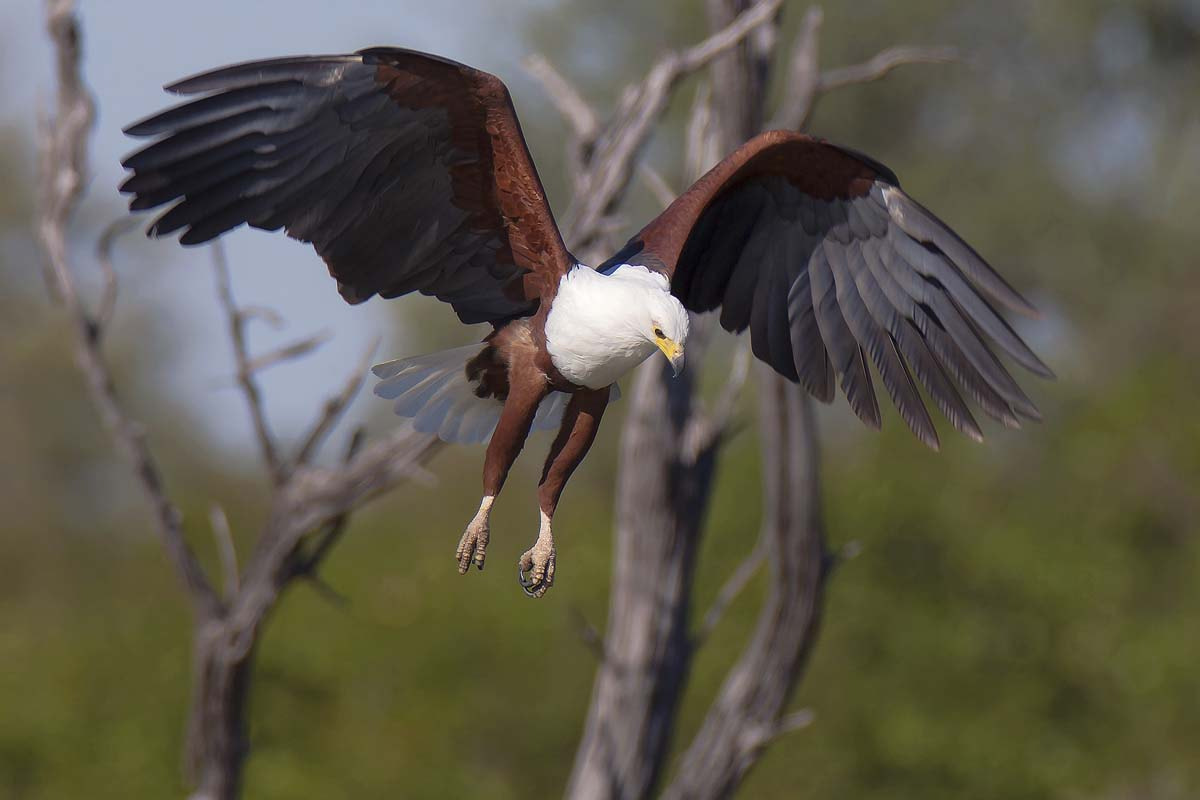 Photograph Hunting Fish Eagle by Clive Wright on 500px