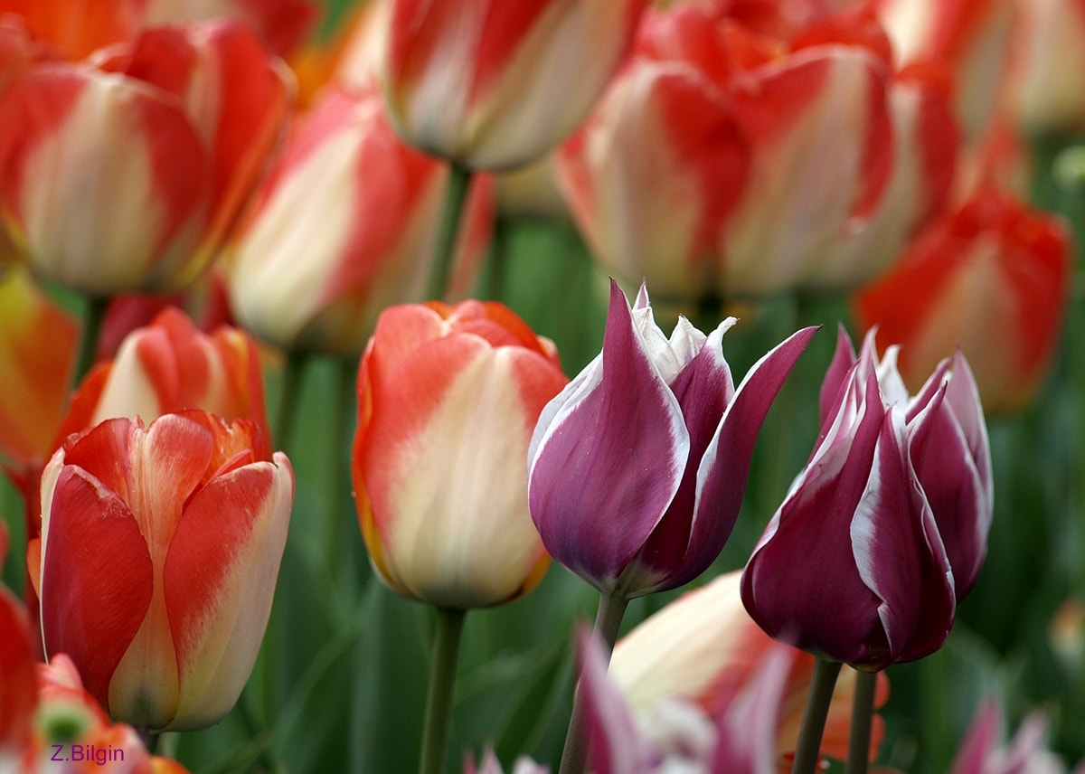 Photograph tulips.... by Zeki Bilgin on 500px
