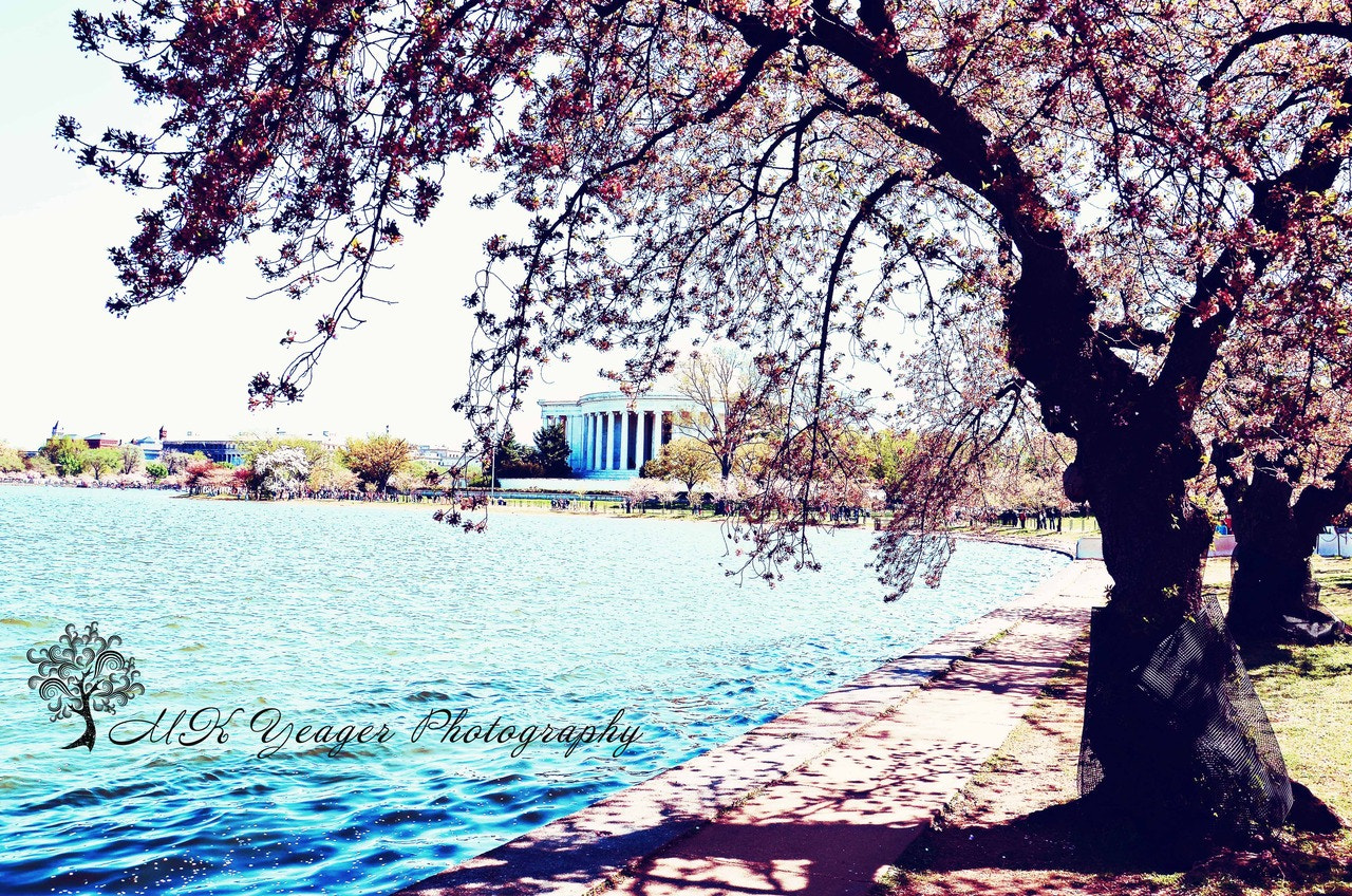 Photograph Cherry Blossoms & The Jefferson Memorial by Michelle Yeager on 500px