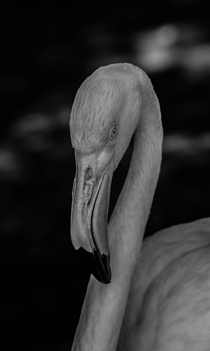 Photograph The Flamingo by julian john on 500px