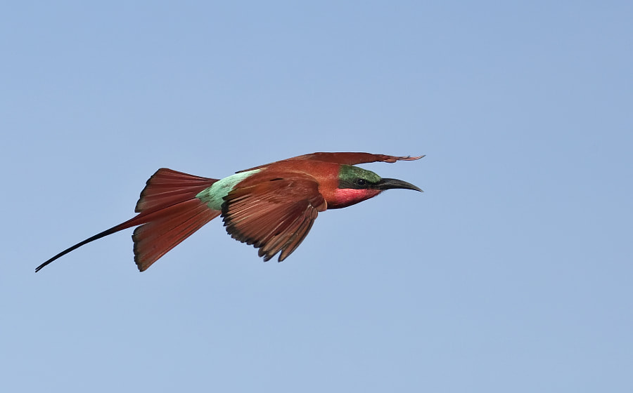 Another Carmine bee-eater captured during our camera waving sightings in Savute, Botswana