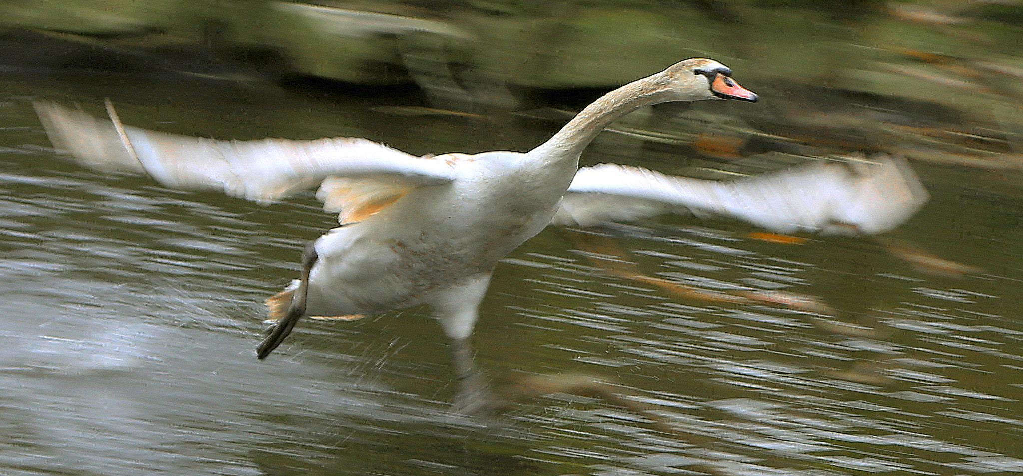 Photograph (100-1 5d) Swan take off by Martys Photos on 500px