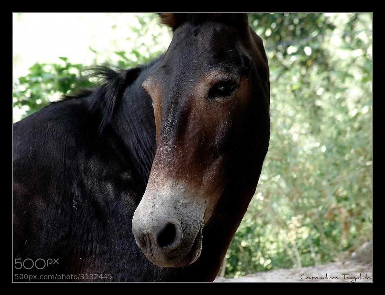 Photograph Mule by Konstantinos Tsagkalidis on 500px