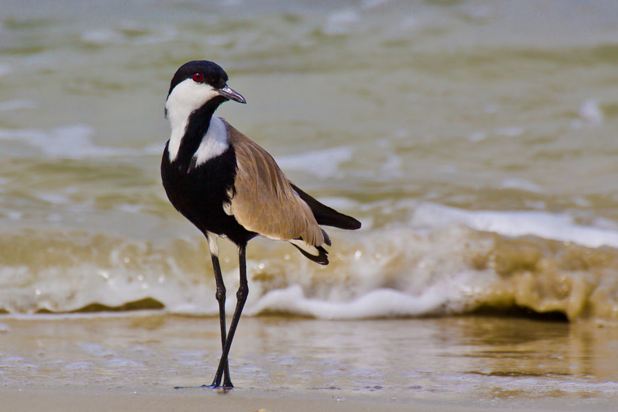 Spur-winged plover in the surf - Guinea Bissau, Africa  The Spur-winged plover (vanellus spinosus) is known to sometimes use its wing-claws to attack animals who get too close to its exposed offspring.