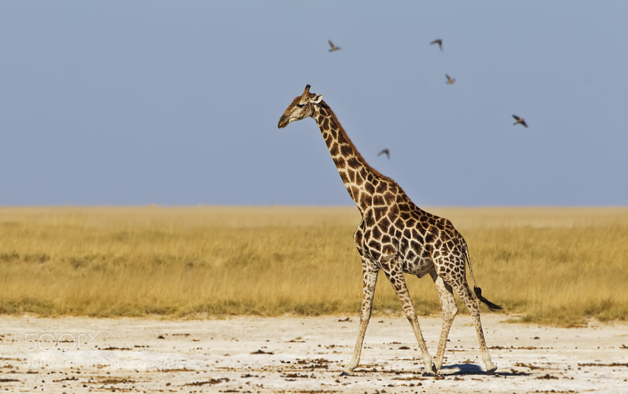 This Giraffe walks along the edge of Etosha pan on his way to Okondeka Waterhole