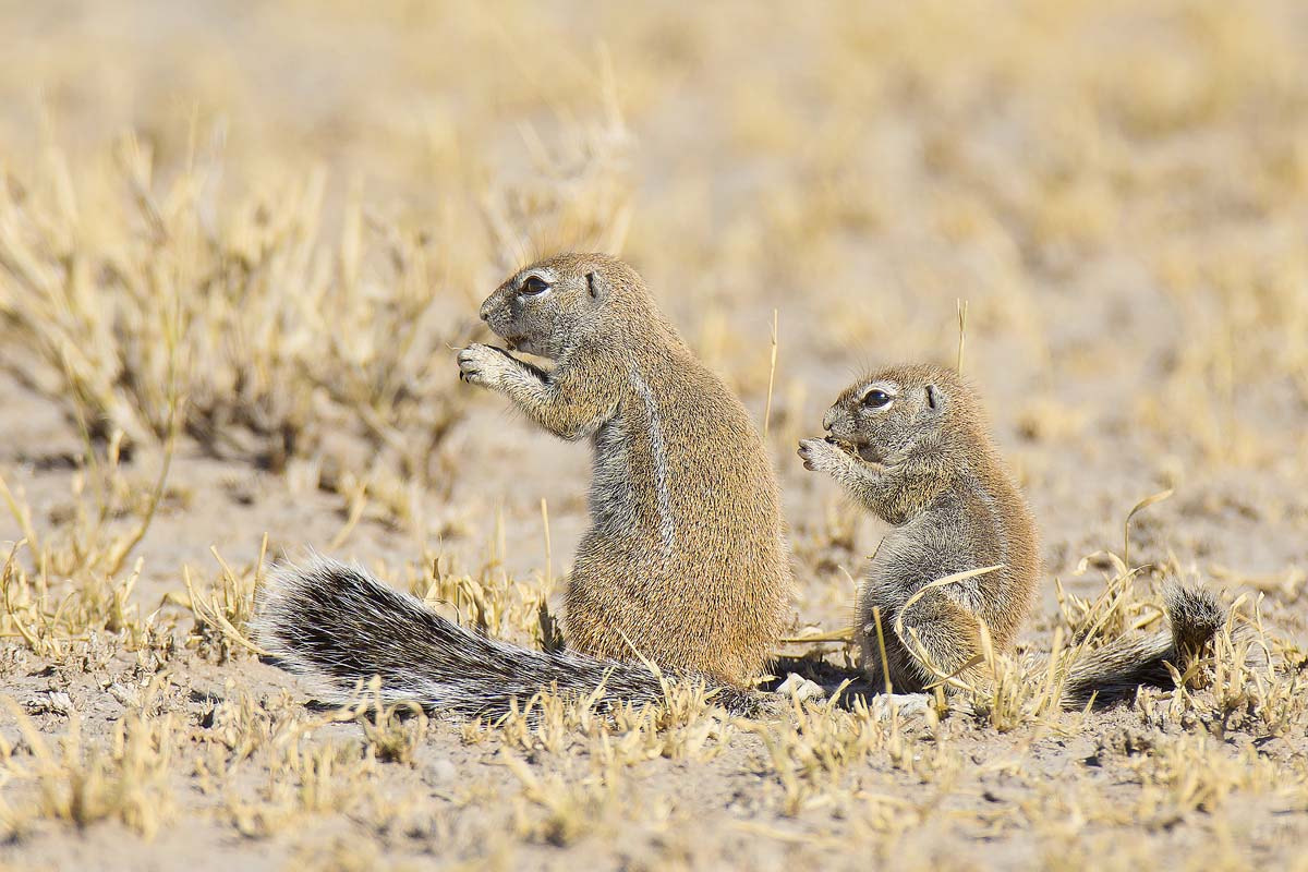 Photograph Mini Me - Ground Squirells by Clive Wright on 500px