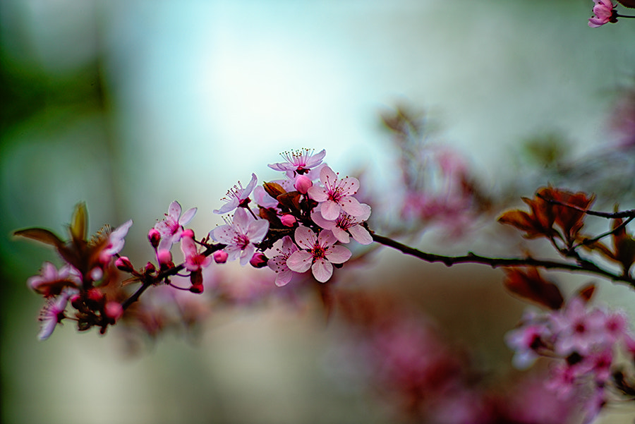 Photograph Cherry blossom by Sanjin Jukic on 500px