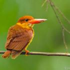 Ruddy Kingfisher.