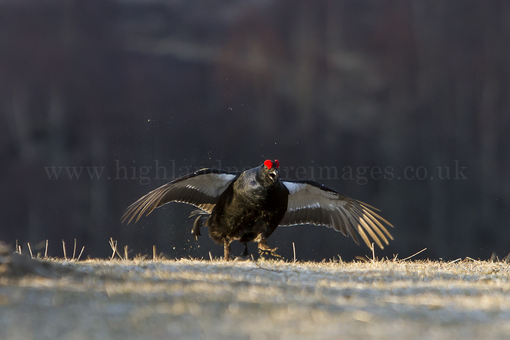 Photograph Black Grouse (Tetrao tetrix) - Cairngorm National Park by Andy Howard on 500px