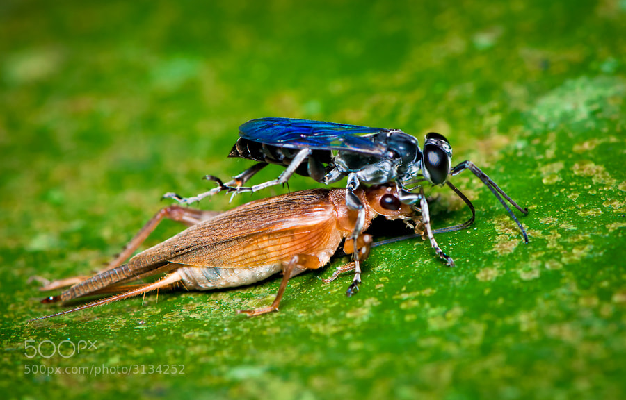 Photograph Wasp & Prey  by Mojtaba Zeinalzadegan on 500px
