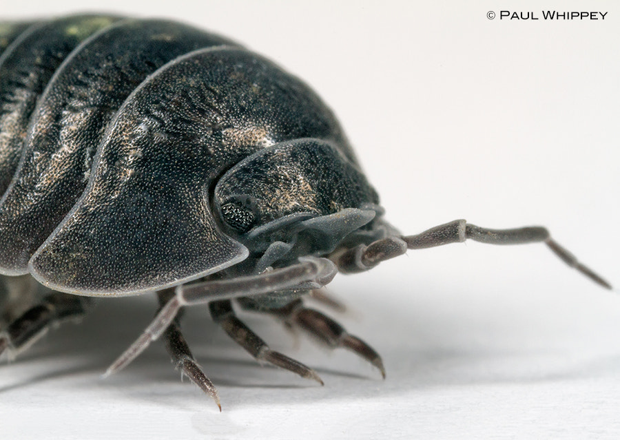 Photograph Southern Pill Woodlouse (Armadillidium depressum) by Paul Whippey on 500px