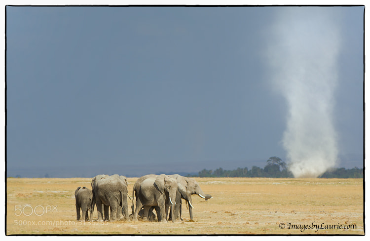 Photograph The Herd and the Dust Devil by Laurie Rubin on 500px