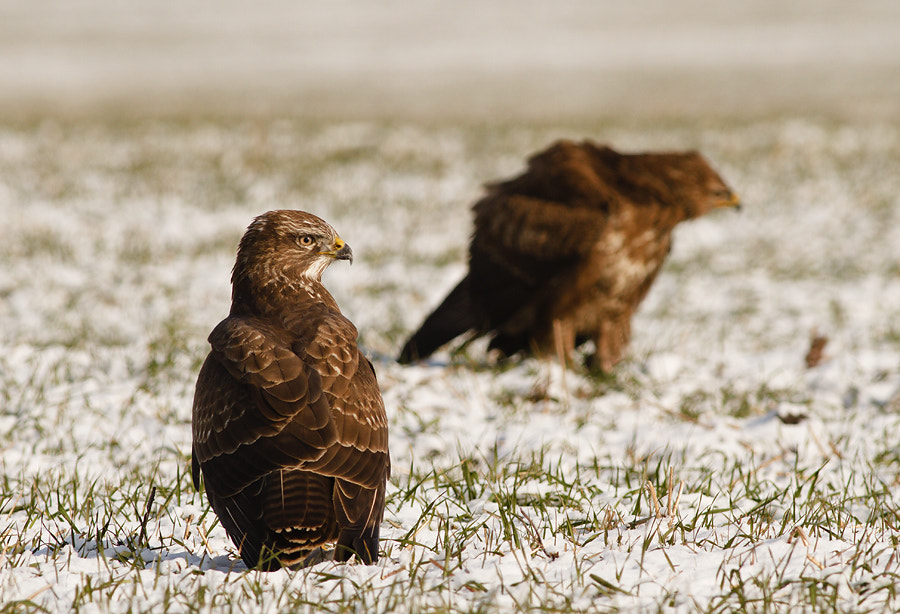 Photograph Common Buzzard by Veselin Gramatikov on 500px