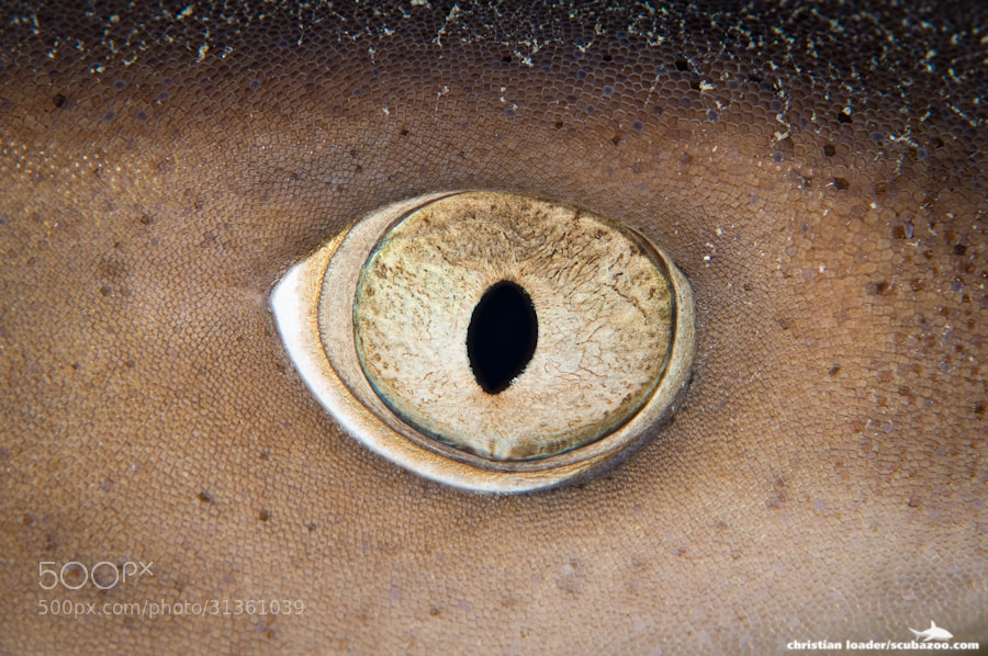 Photograph Shark Eye by Christian Loader on 500px