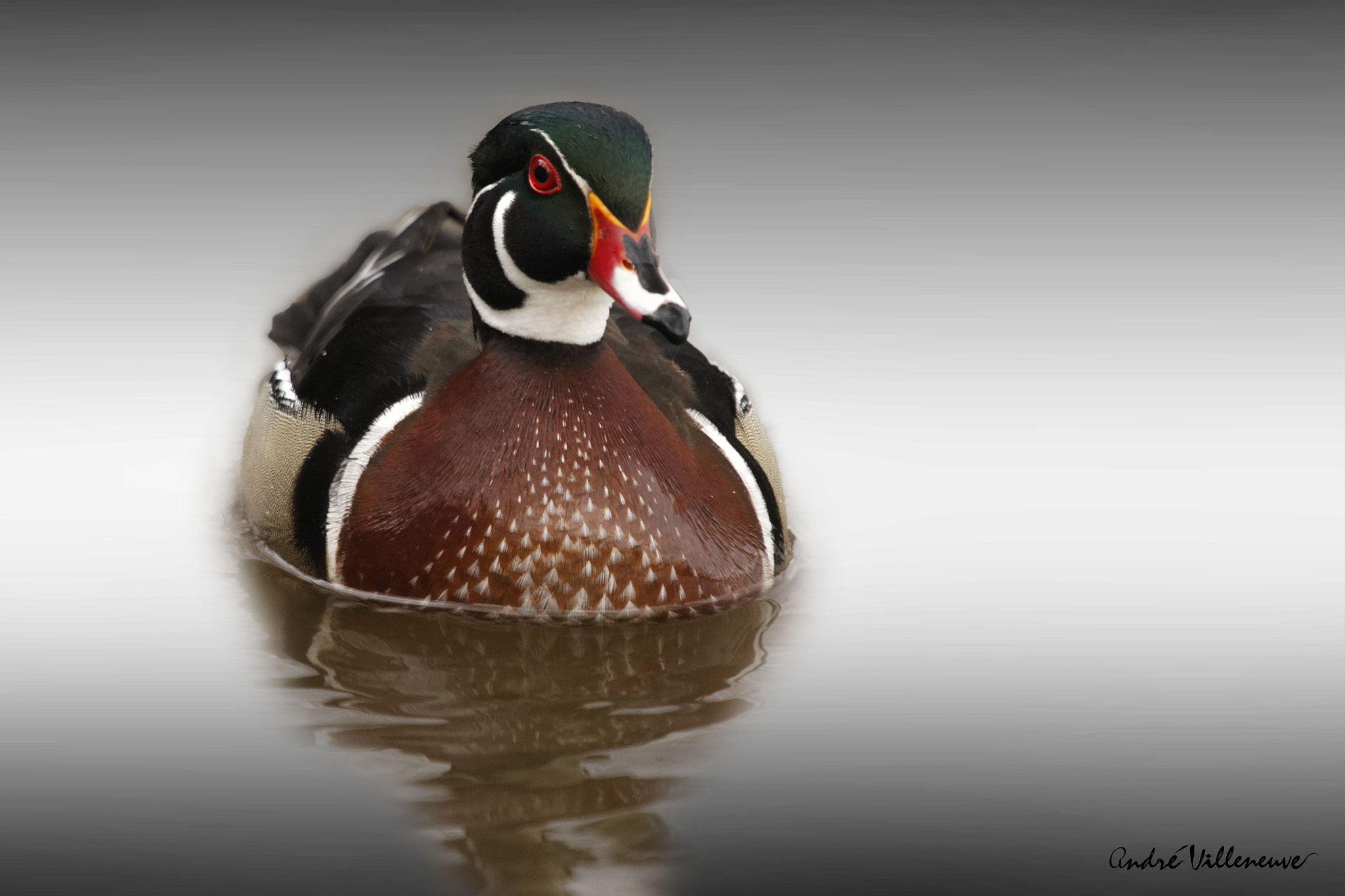 Photograph A  duck in color by Andre Villeneuve on 500px