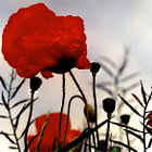 'In The Shadow of the Poppies'. © Copyright Magda Indigo
