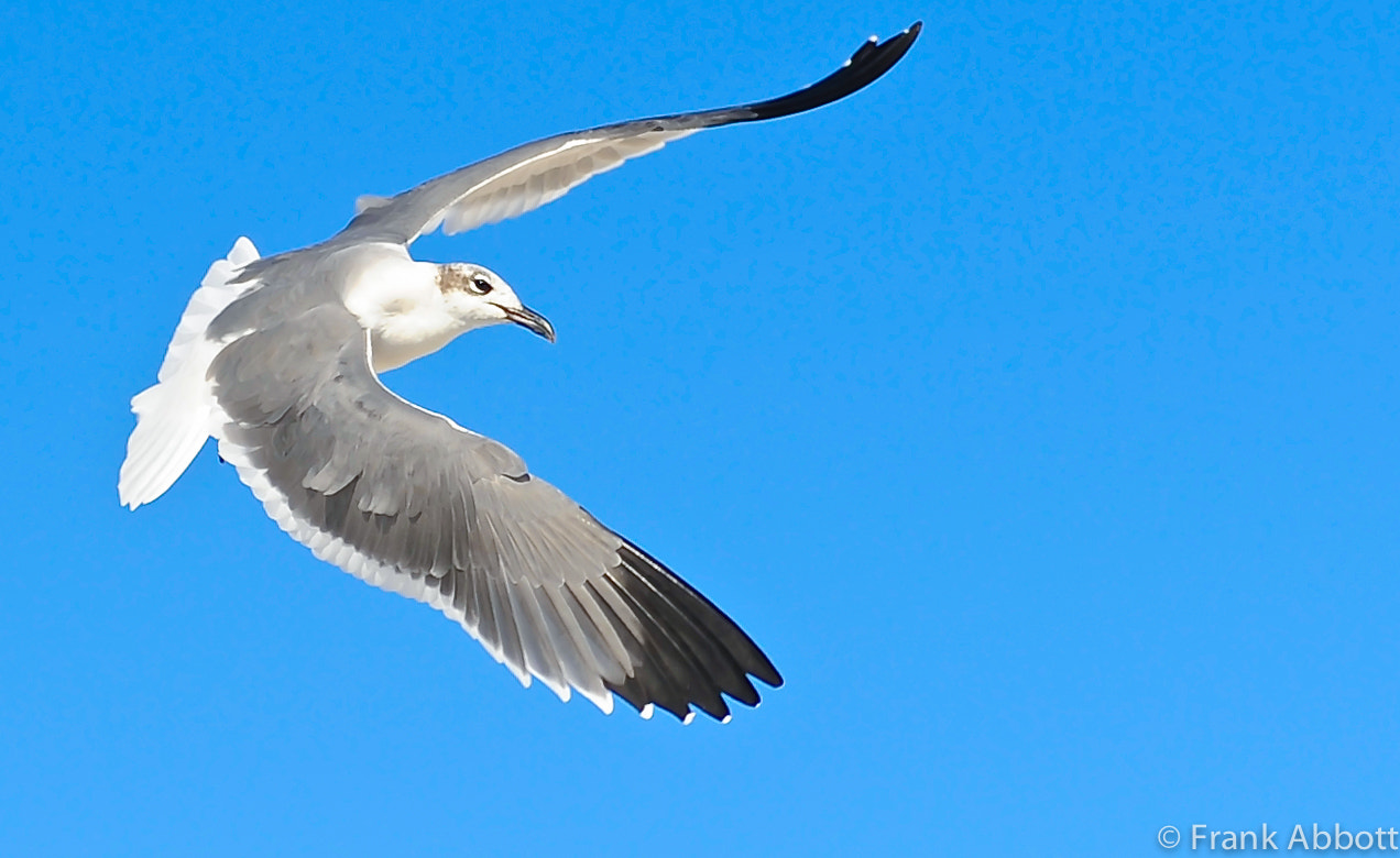 Photograph Laughing Gull by Franklin Abbott on 500px