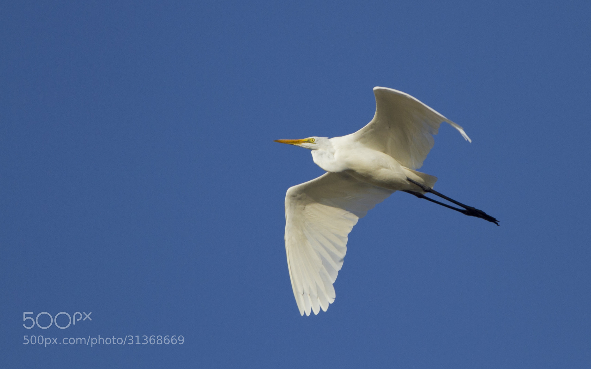 Photograph Great Egret by Mohamed Mothi on 500px