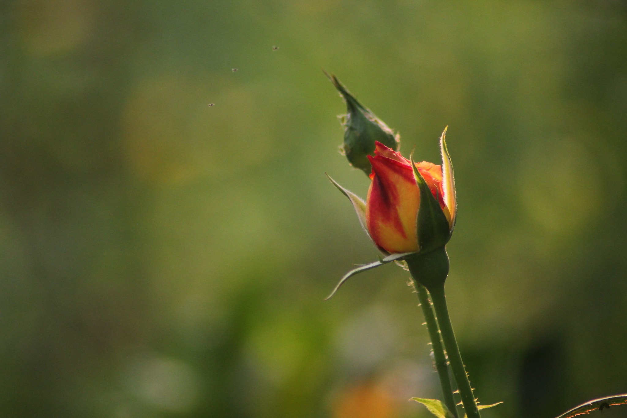 Photograph Rose bud by ashish pradhan on 500px