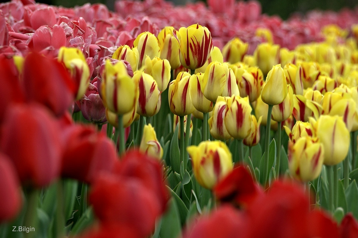 Photograph tulips -2- by Zeki Bilgin on 500px