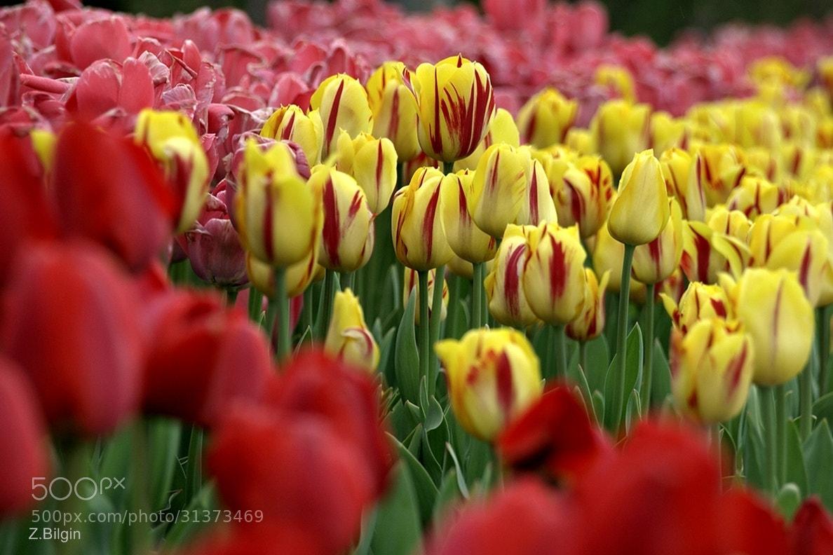 Photograph tulips -2- by Zeki Bilgin on 500px