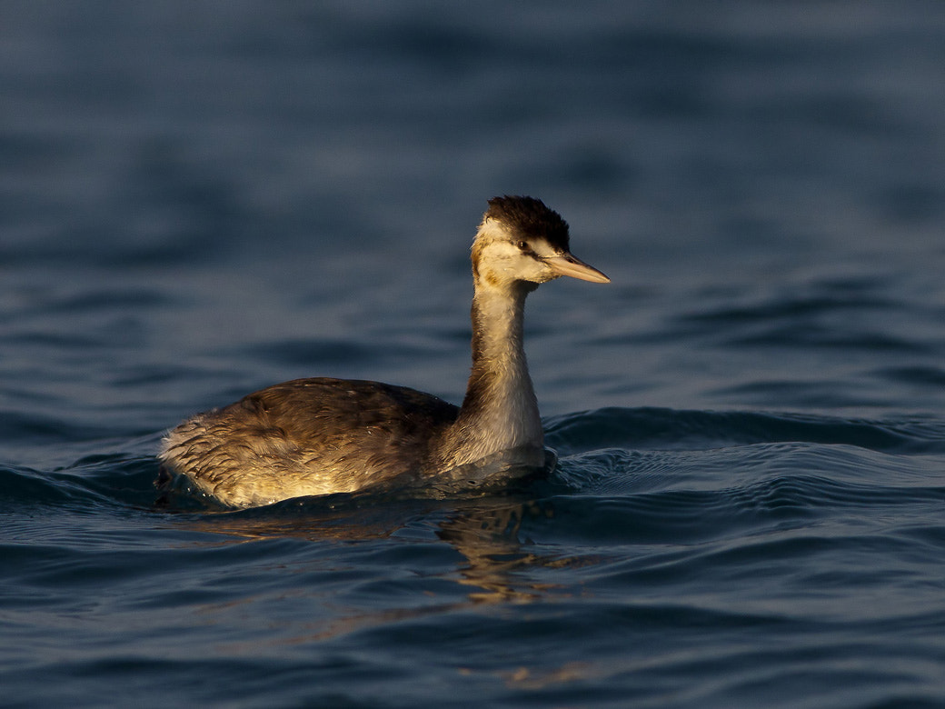 Photograph great crested grebe  by Burak Ercümen on 500px