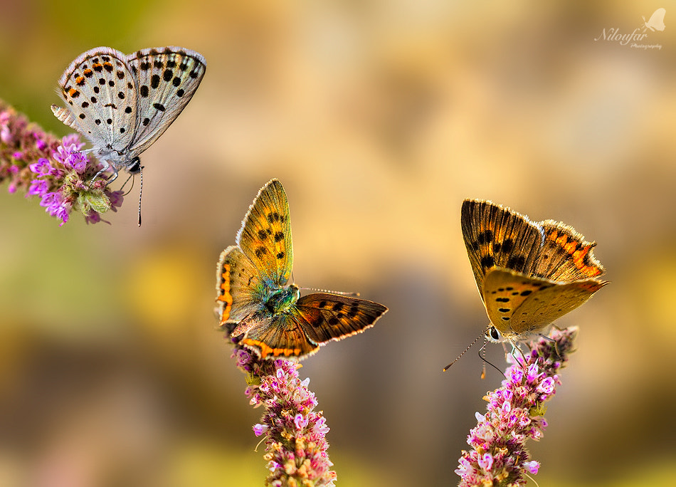Photograph Butterflies season  by Niloufar Hosein zadeh on 500px