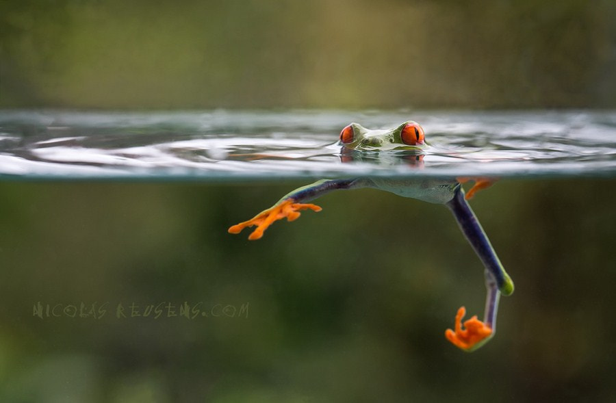 Photograph Pissed off Agalychnis :-p by Nicolas Reusens on 500px