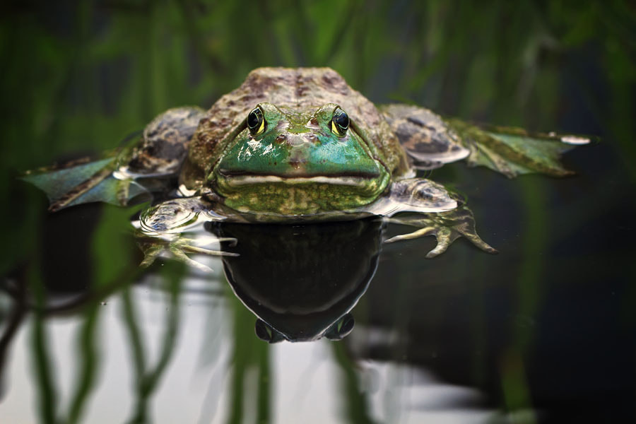 Photograph the frog by shikhei goh on 500px