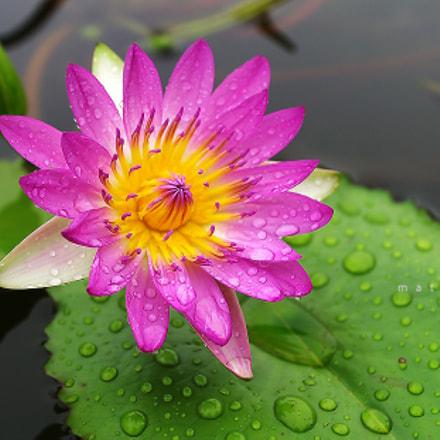 Pink Lotus after rain