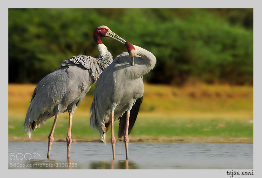 Photograph Sarus crane by Tejas Soni on 500px