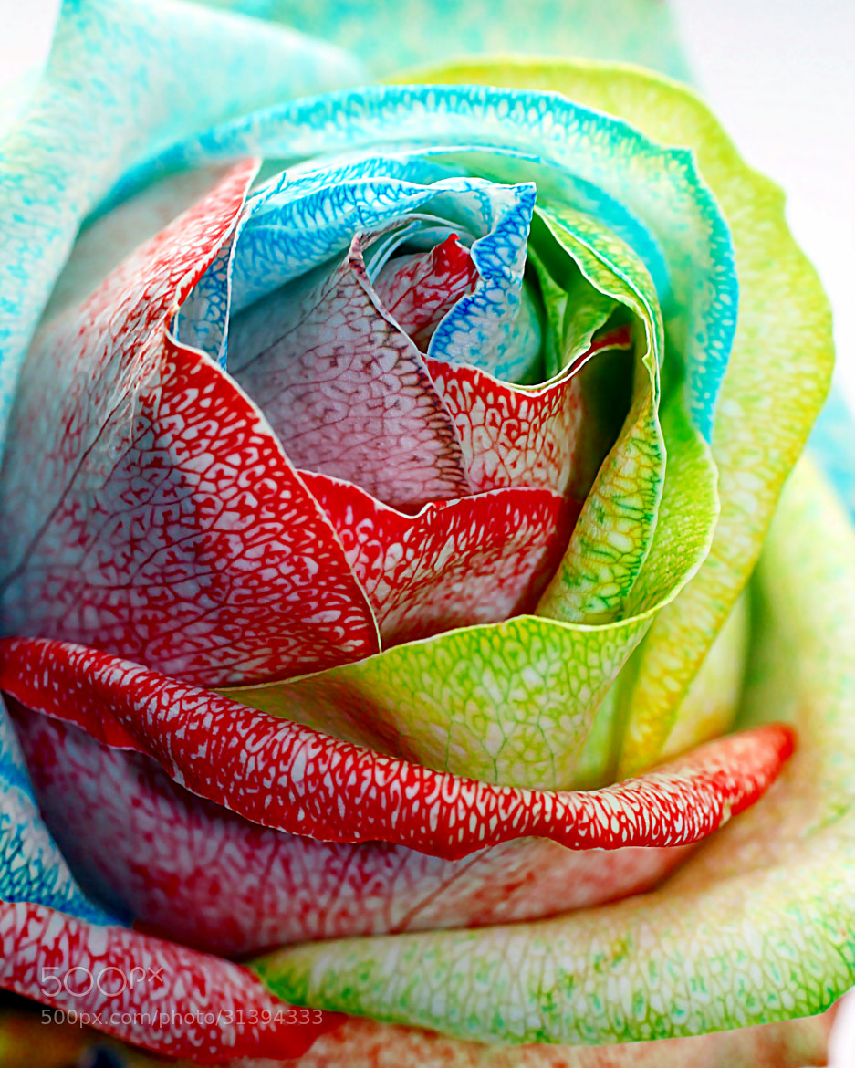Photograph Rainbow Rose by Anne Costello on 500px