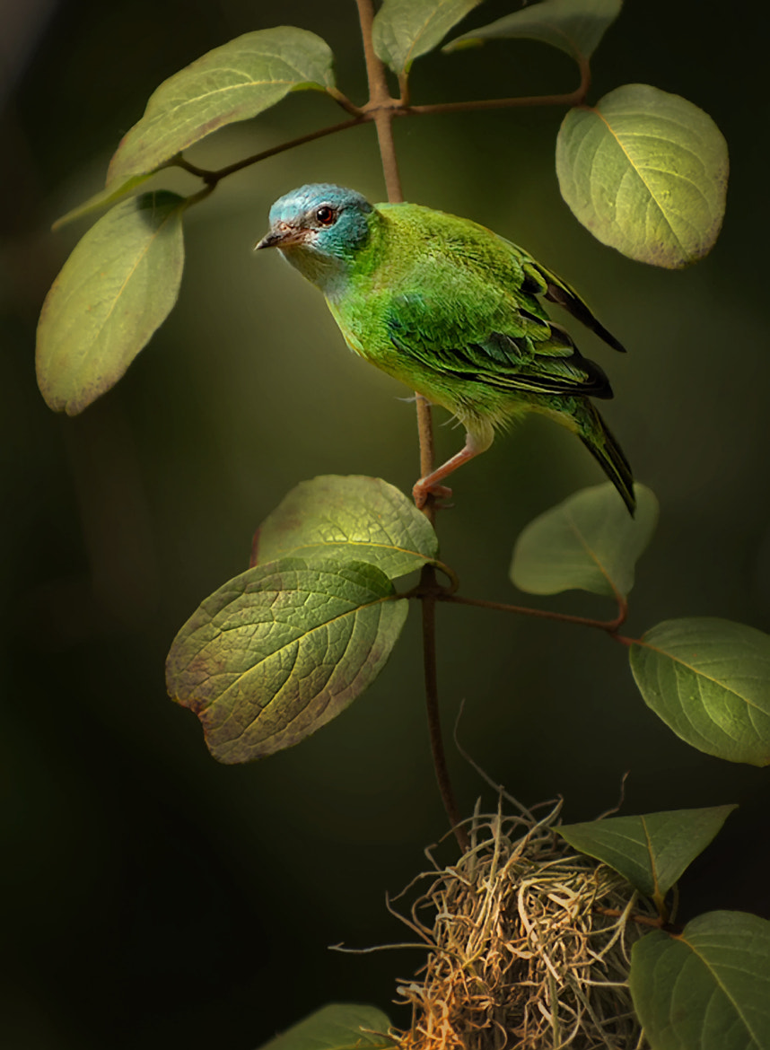 Photograph Blue Dacnis by Laurie Rubin on 500px