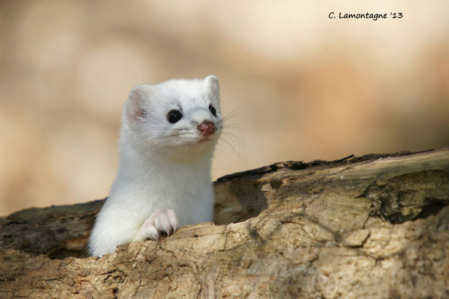 As I was walking in the nature trail at Hersey Lake near my home I saw this Short Tailed Weasel pop out of a hole in a hollow log. He didn't stay long just long enough for a quick shot. It was one of those right place at the right time moments. It was April and he still had his white winter coat.