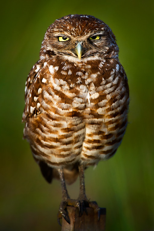 Photograph Burrowing Owl Angry Stare by Steve Perry on 500px