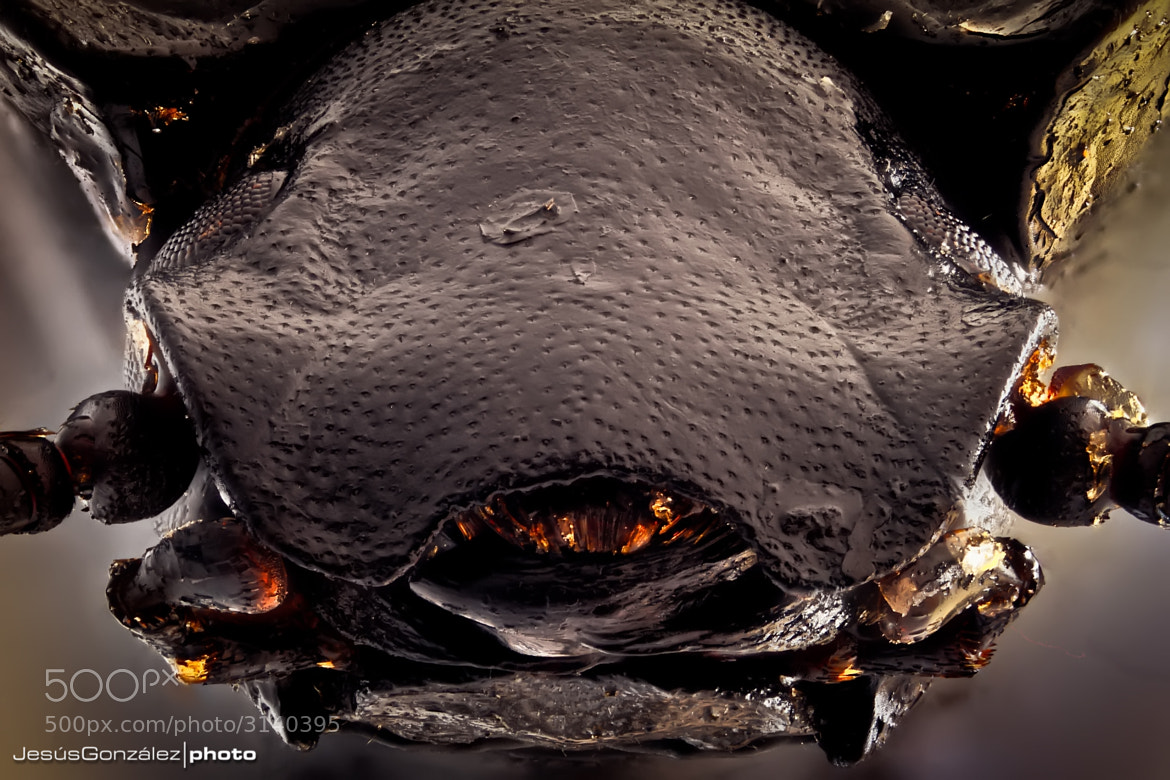 Photograph Portrait of a beetle  by Jesús González Vera on 500px