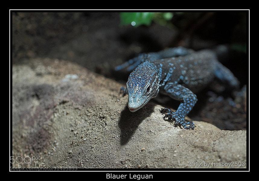 Photograph Blauer Leguan by Jörg David Photography  on 500px