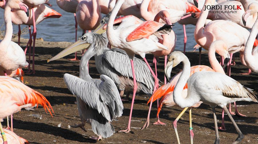 Pelikanos reunion