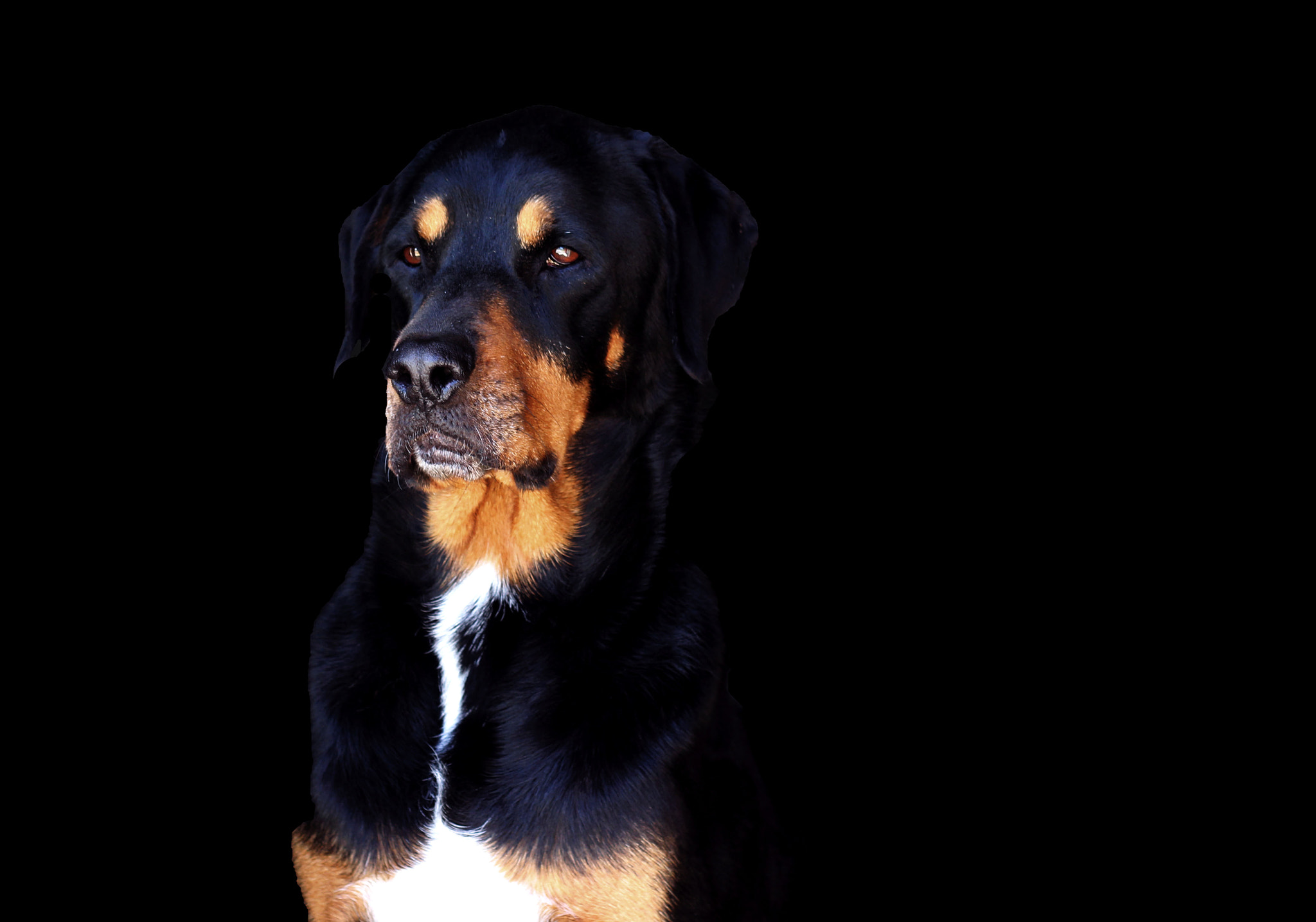 Photograph Rottweiler.  by Kaylin Raycraft on 500px
