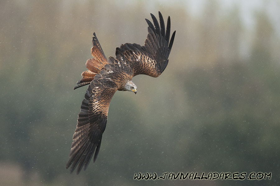 Photograph Red Kite by Javier Valladares on 500px