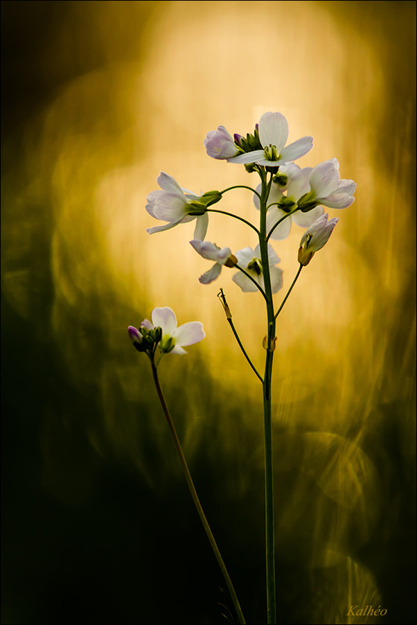 Photograph Cardamine de feu by florence Kalheo on 500px