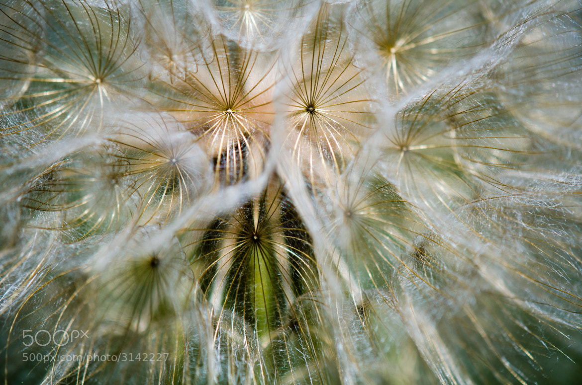 Photograph Inside the Dandelion by David McCurry Photography on 500px