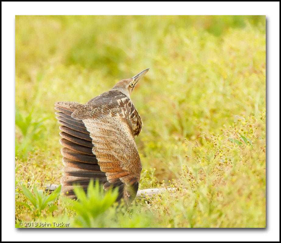 Photograph American Bittern : Wing Stretch by John Tucker on 500px