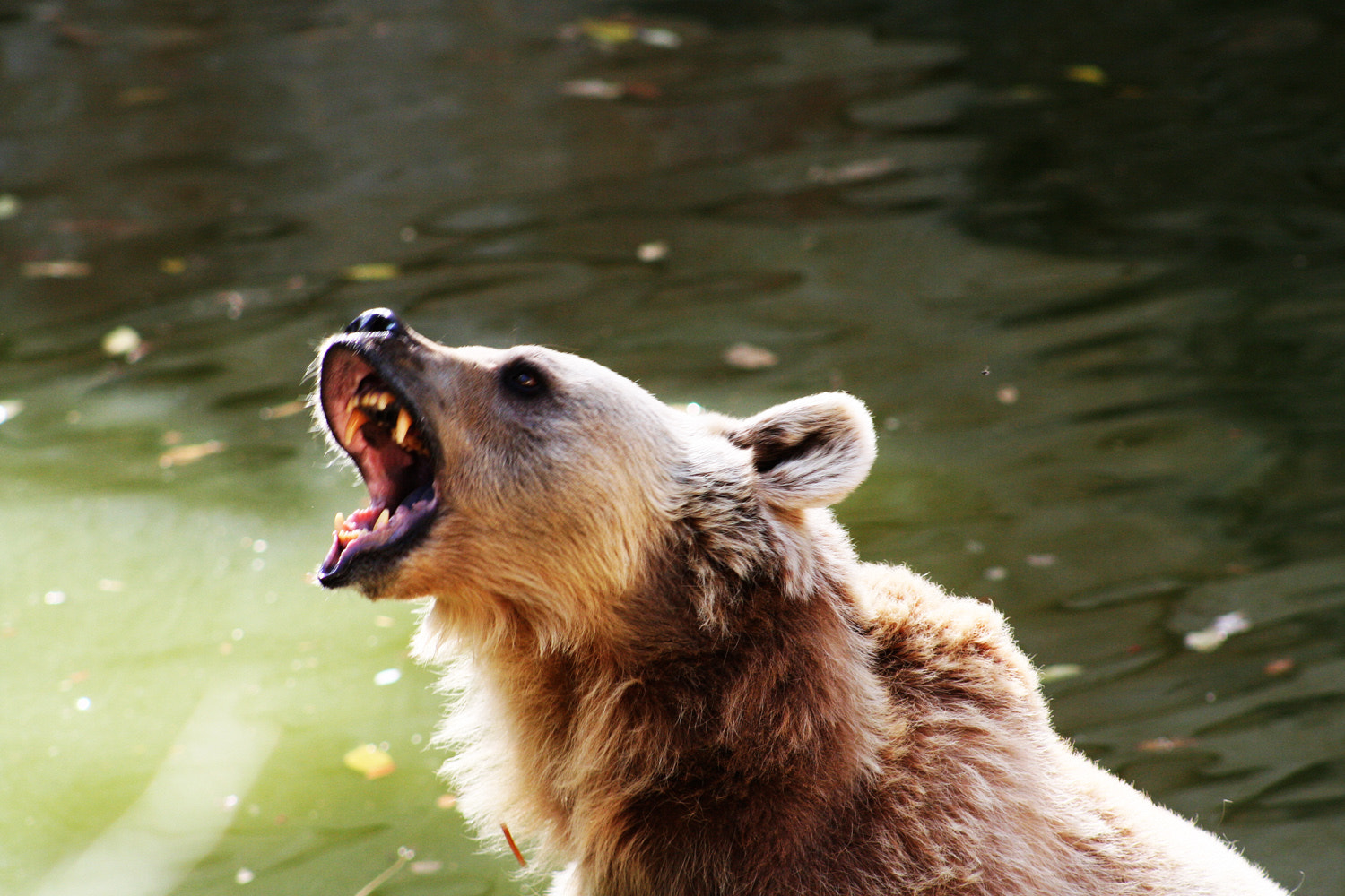Photograph Angry bear by Alexandra Kosolapova on 500px