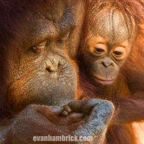 Orangutan Kiss by Evan Hambrick (hambrick) on 500px.com