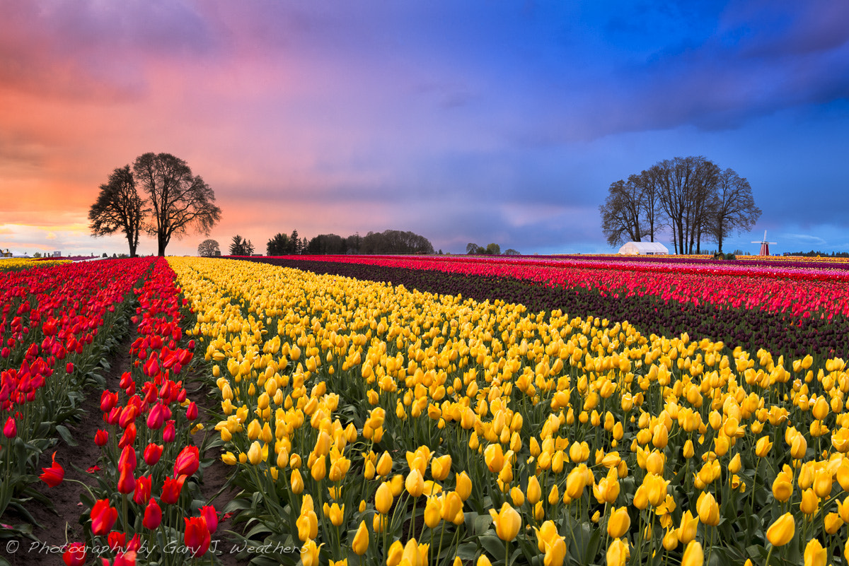 Photograph Tulips and Sky by Gary Weathers on 500px