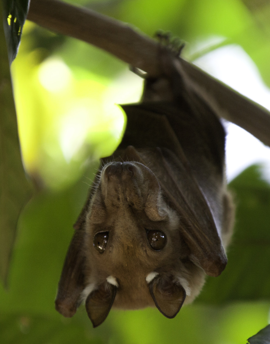 Photograph Fruit Bat by Jamie Hopf on 500px