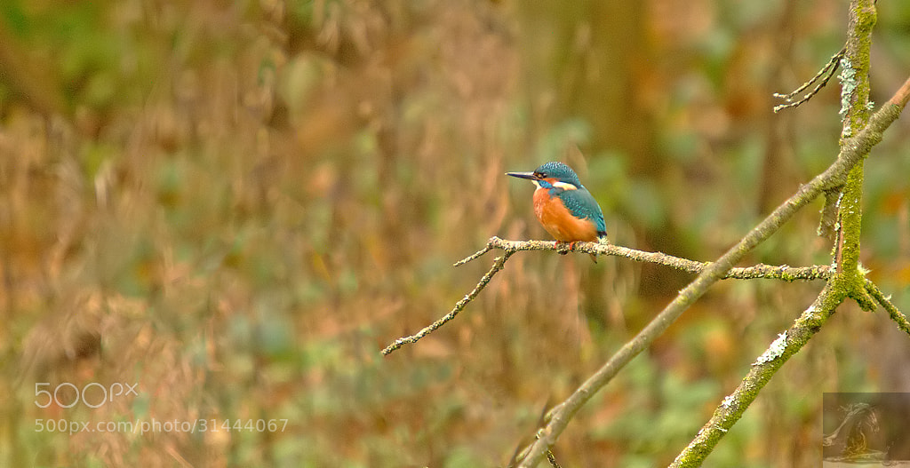 Photograph Common Kingfisher 3 by Kurien Yohannan on 500px