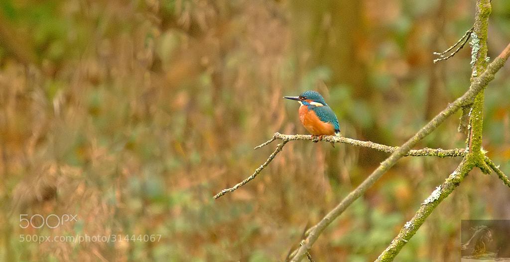Photograph Common Kingfisher 3 by Kurien Yohannan on 500px